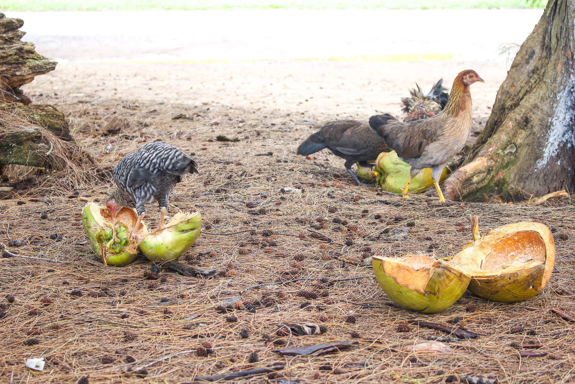 hawaiian chickens