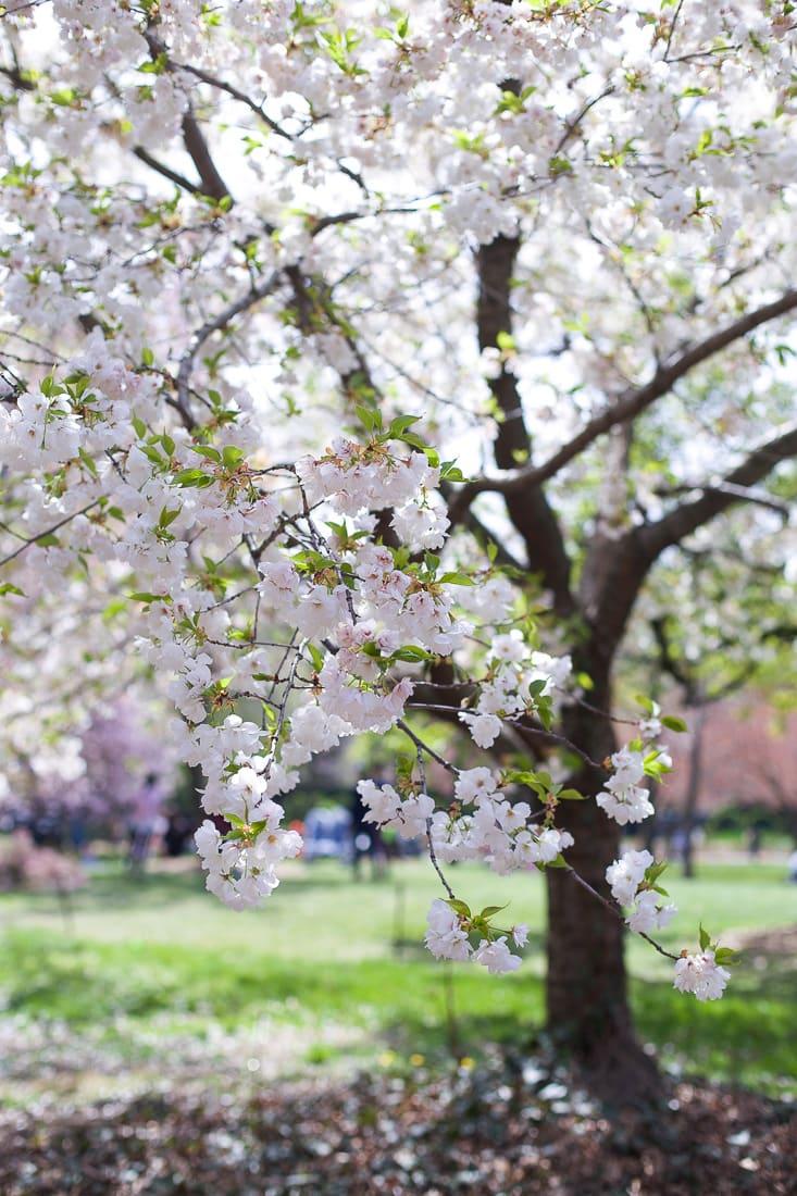 brooklyn botanic garden cherry blossoms_