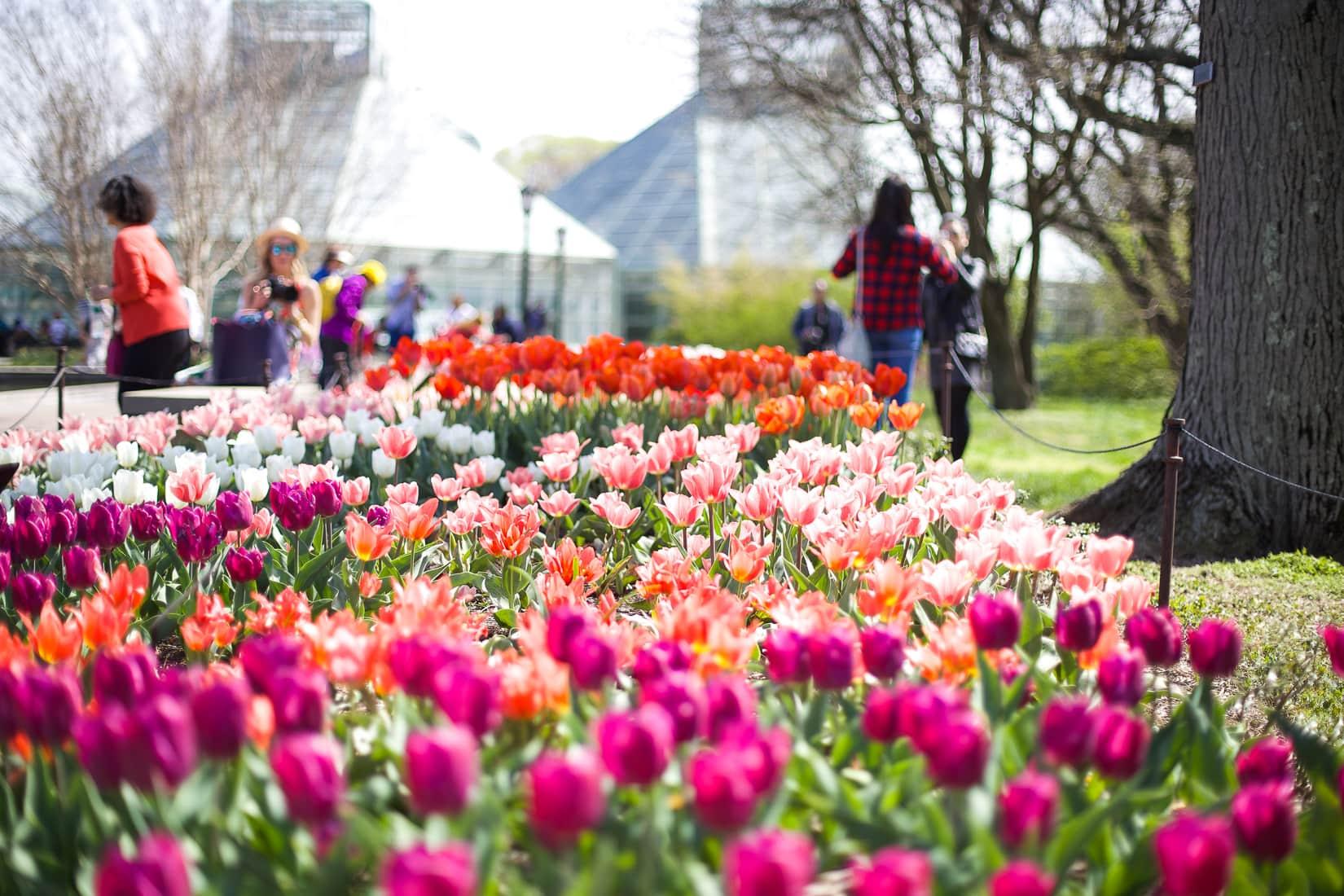 tulips, fresh flowers
