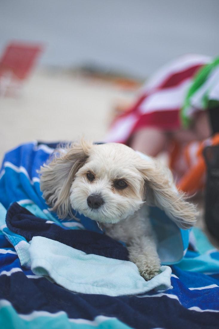 cavachon, hypoallergenic dog