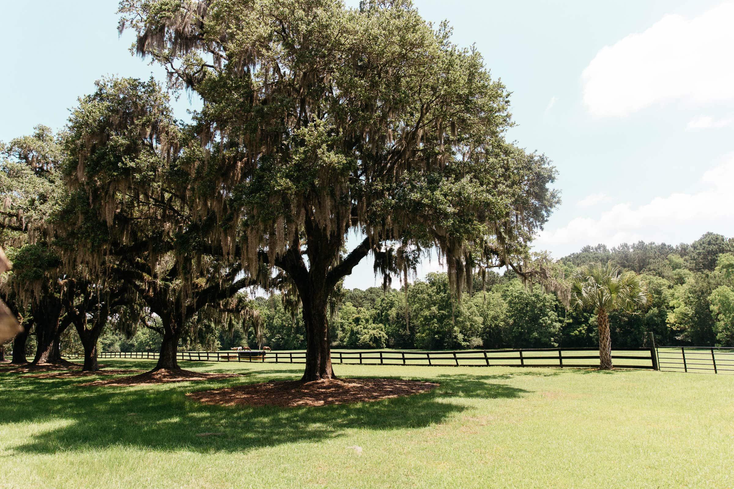 Oak Trees Charleston